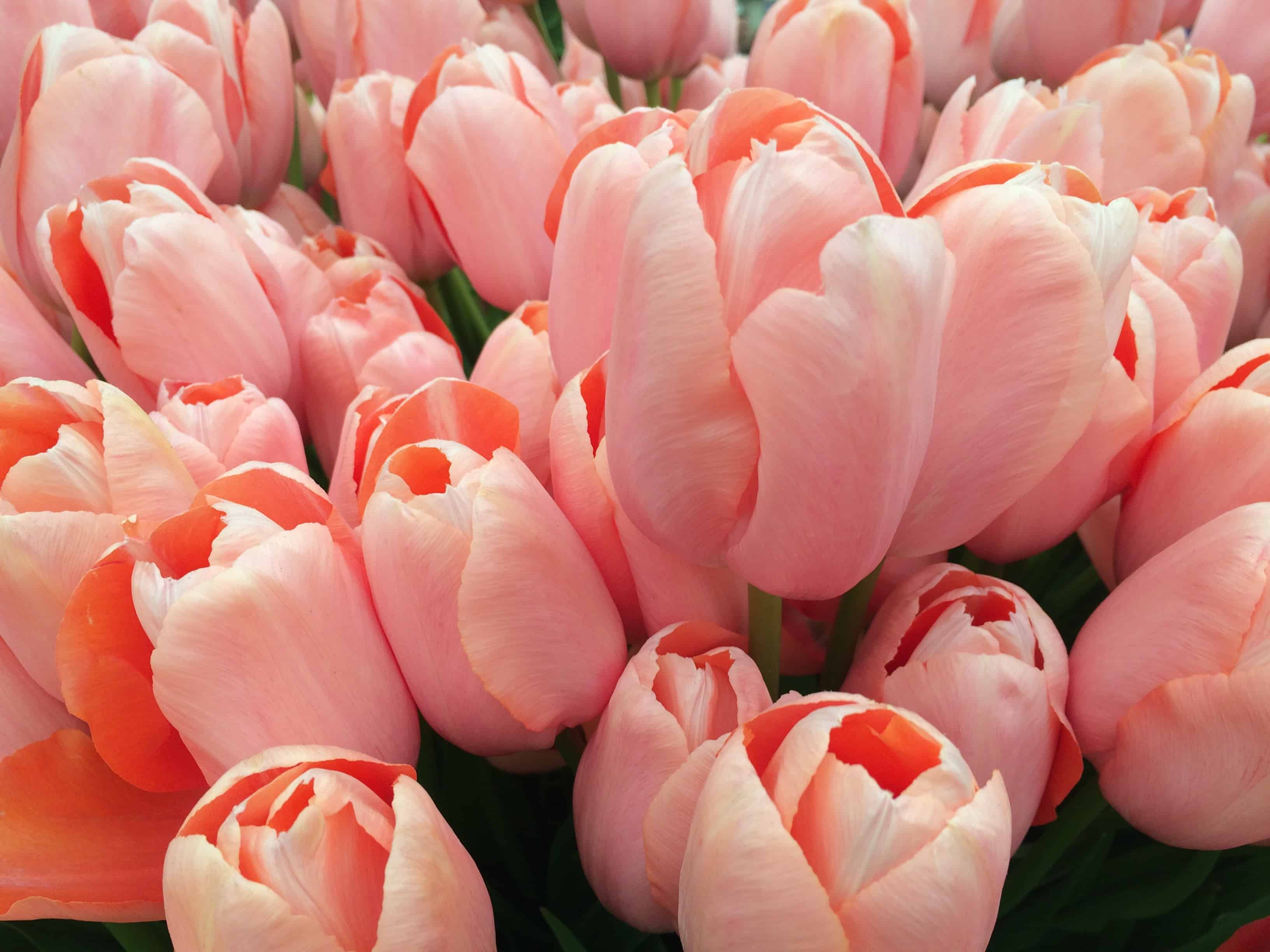TulipsatCFS