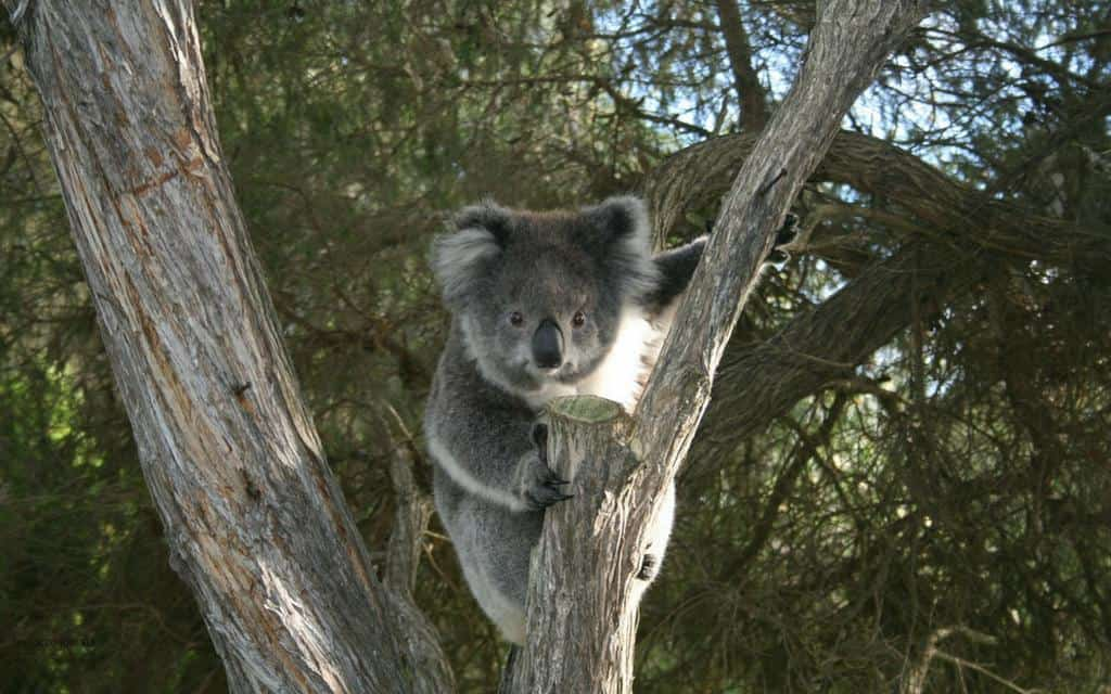 Koala Otways National Park