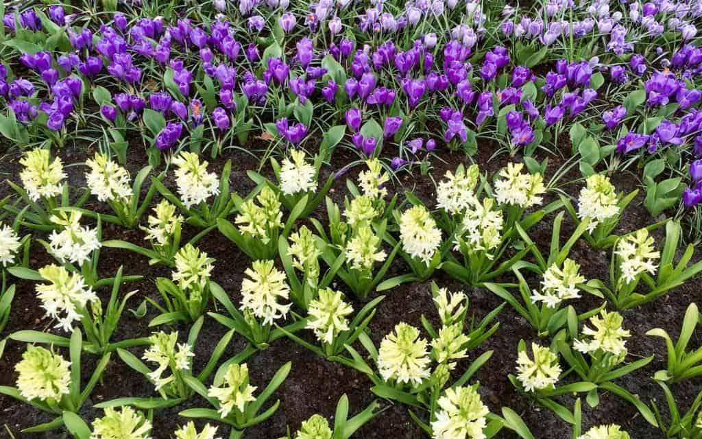 blooms at Keukenhof Lisse Netherlands
