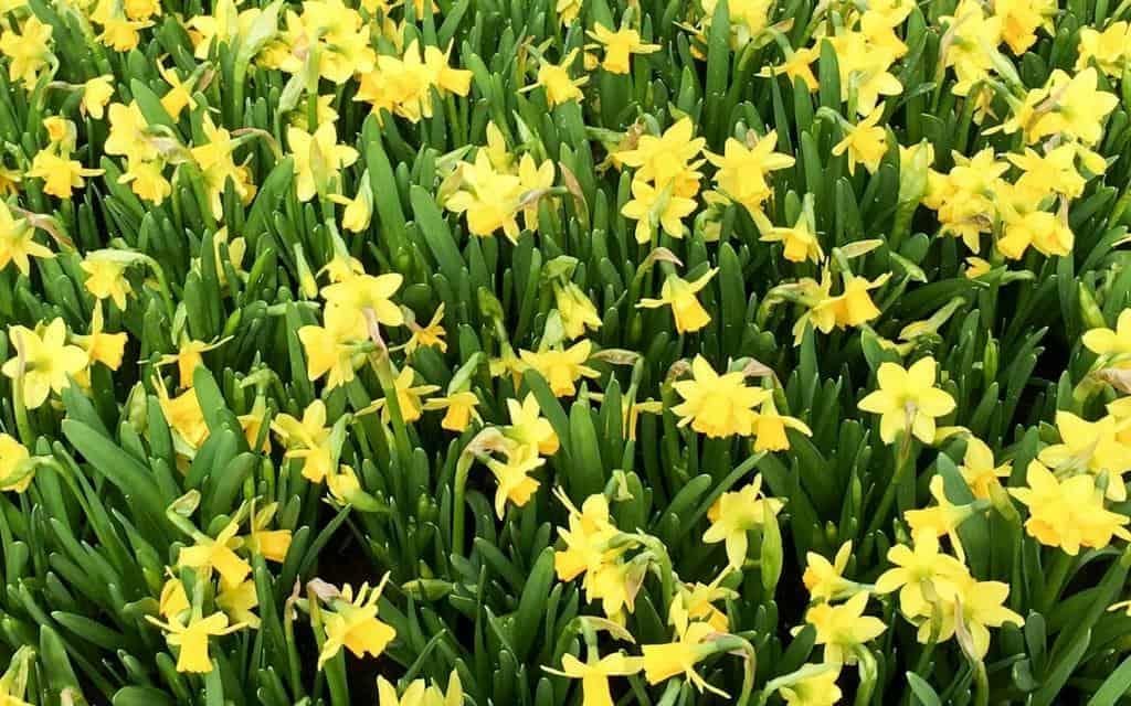 daffodils at keukenhof lisse netherlands