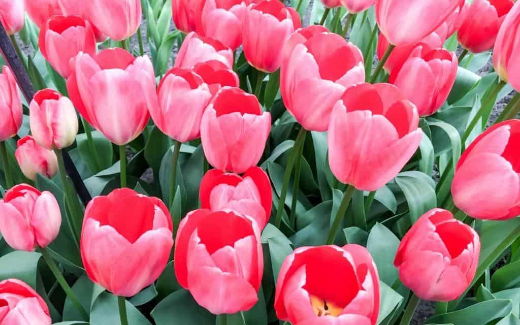 Tulips at Keukenhof flower gardens near Lisse Netherlands