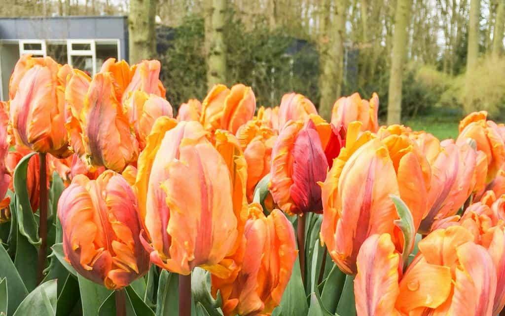 tulips at keukenhof - tulip garden near amsterdam