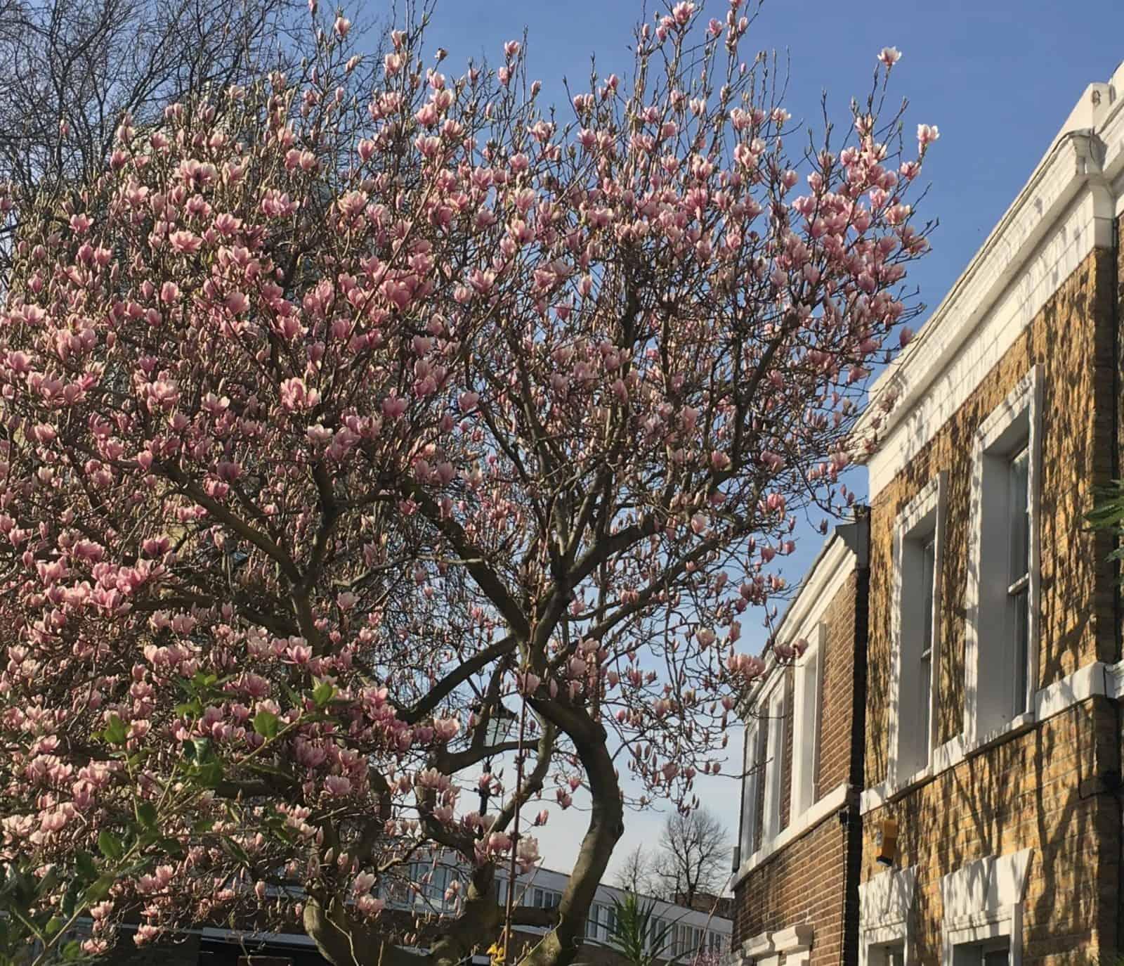 Magnolias blooming - spring in London