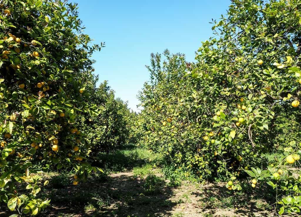 Lemon groves in Sicily - best places to visit Sicily