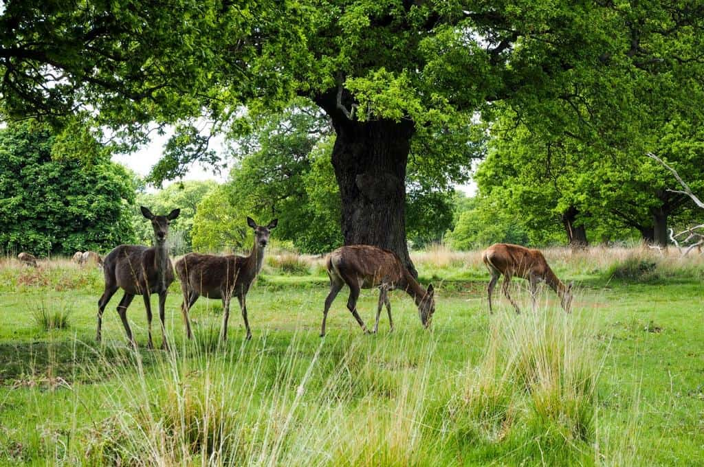 Famous London Parks: Richmond Park