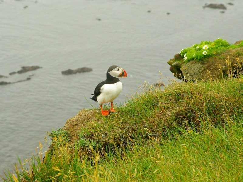 puffin season iceland
