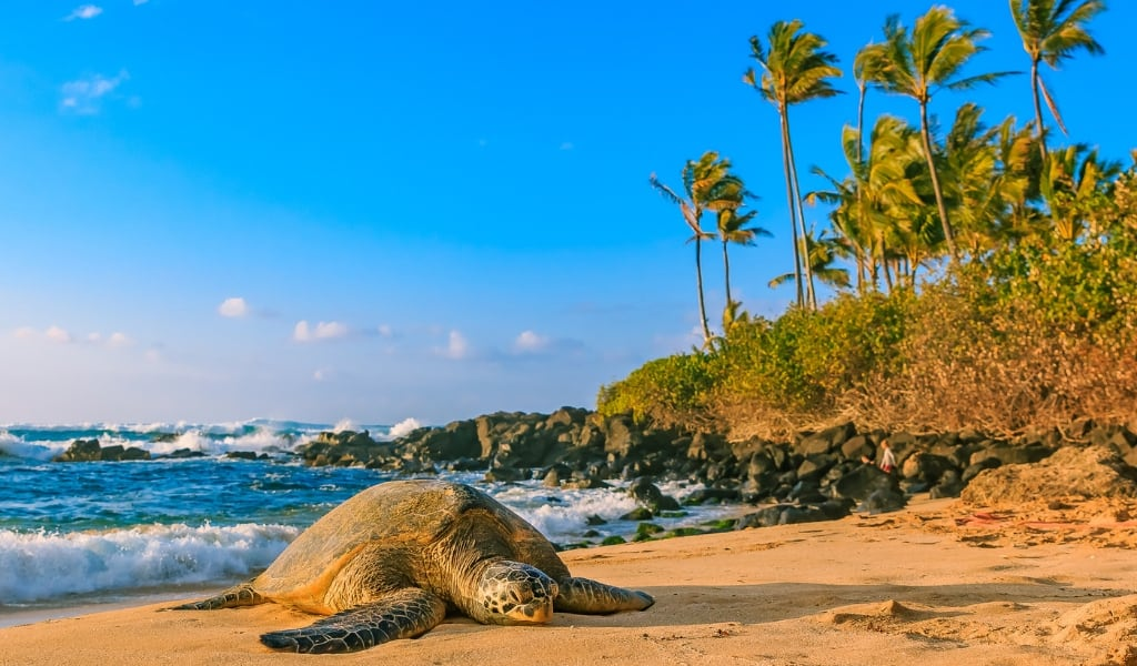where to see sea turtles on north shore hawaii